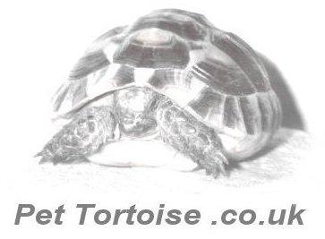 tortoises for sale   uk   mediterranean pet tortoise for sale